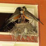 birds feeding babies in nest