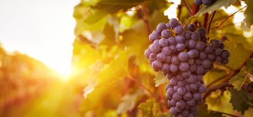 a bunch of purple wine grapes in a vineyard