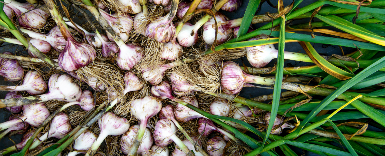 midwest garlic fest galena annual festivals